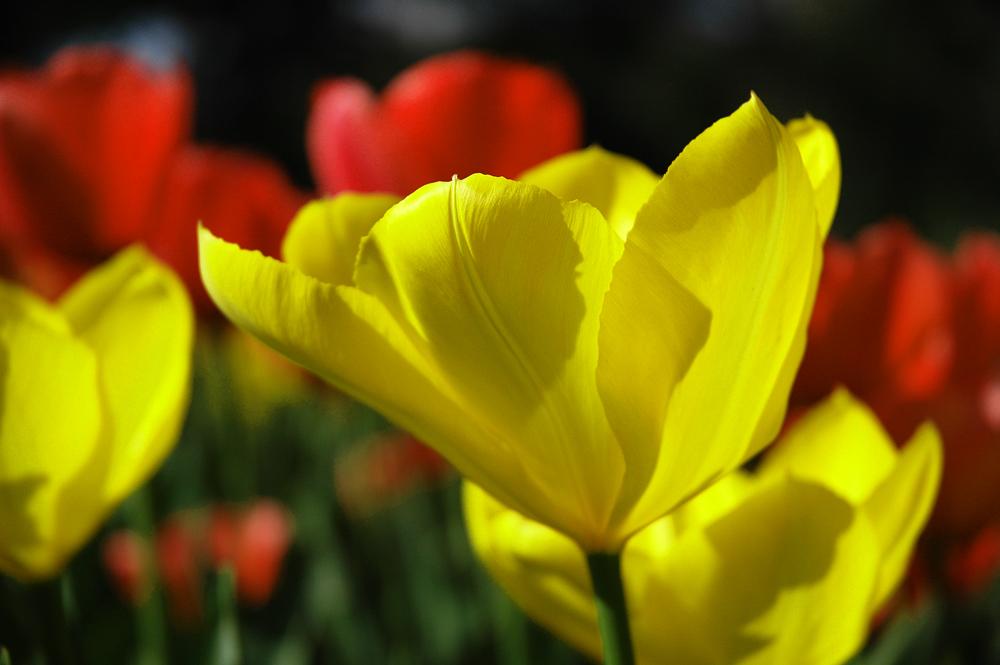 Tulipani in controluce nella magica Istambul