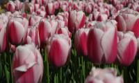 Tulipani Turchi